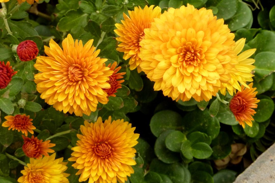 Super Chrysanthemum indicum &NQ_83