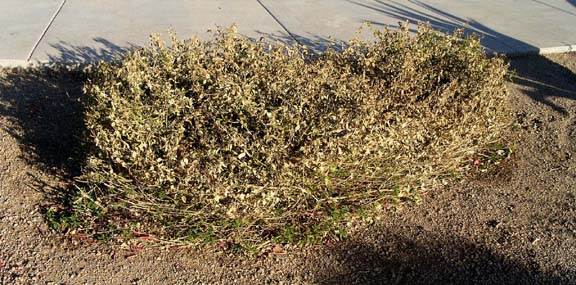 Otherwise Lantana Hybrids Are Sply Foliated And Dormant During Winter Montevidensis Is The Most Cold Tolerant
