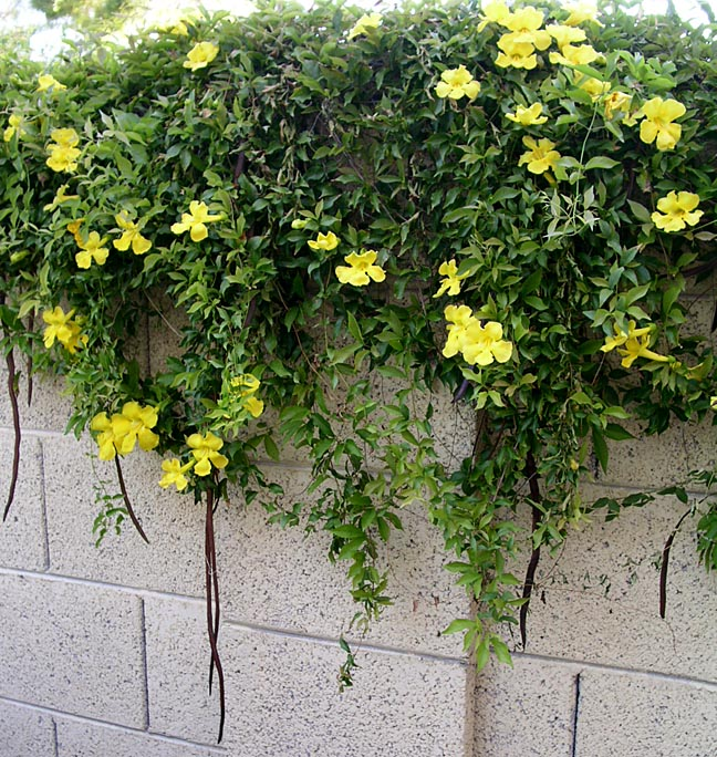 Needs Support When Trained As A Wall Cover Because It Is Known To Become Top Heavy And Collapse Off Care Should Be Taken Cat Claw Vine Can