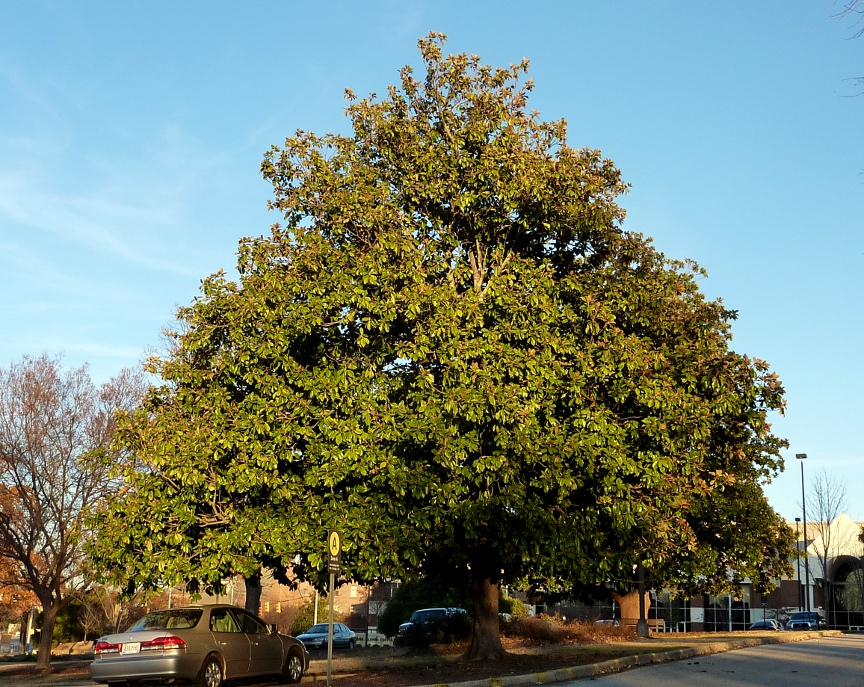 Older Trees Are More Broad And Spreading