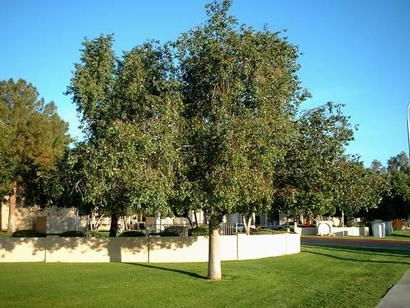 Common Australian Bottle Tree Kurrajong Family Sterculiaceae Origin Eastern Australia From Northern Victoria Into Queensland