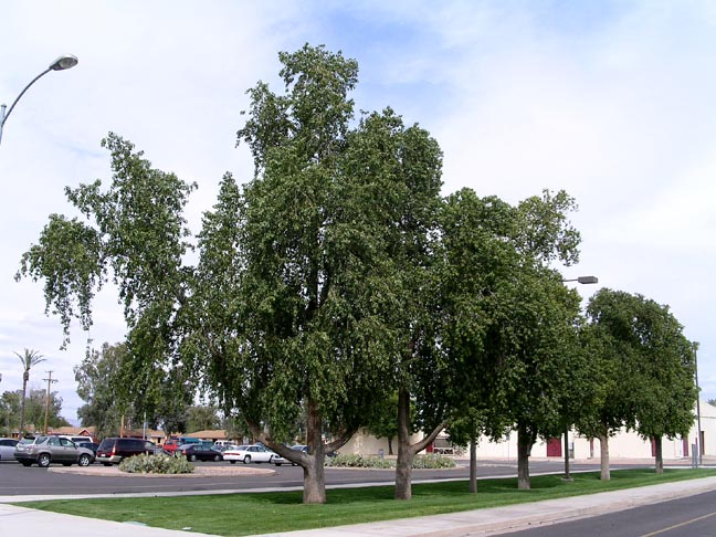 The Bottle Tree Trunk Is Generally Smooth And Gray Except Where Heat Stressed Tends To Flare At Base Main Scaffold Branches Are