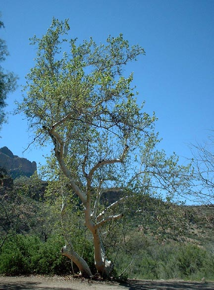 Common Arizona Sycamore Family Platanaceae Origin Sonoran And Chihuahuan Deserts In Riparian Washes Canyon Bottoms Between 2 000 6 Feet