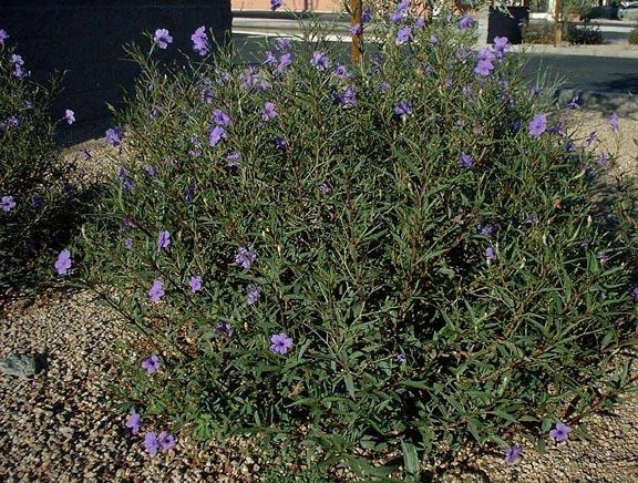 Common Purple Ruellia Family Acanthaceae Origin Mexico